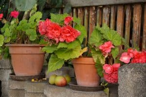 Rieger begonia blooming in pot