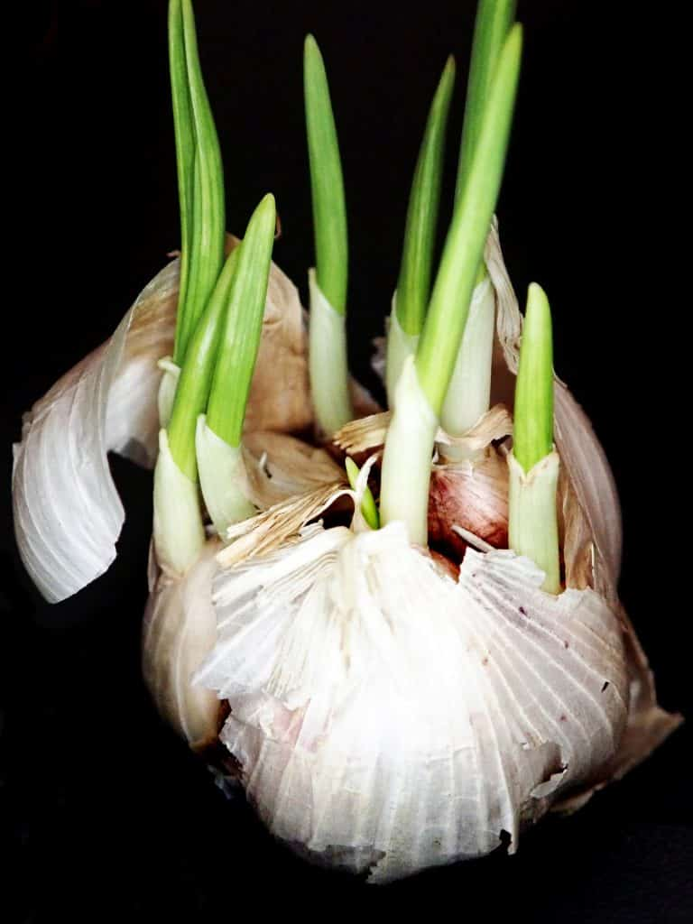 Garlic Sprout