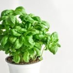 Basil: Health Benefits and How to Grow them
