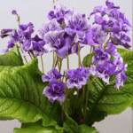 Streptocarpus - How to grow and care