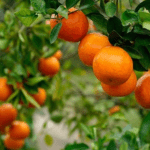Calamondin Orange - Health Benefits and how to grow