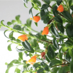 Guppy Plant - how to grow and care