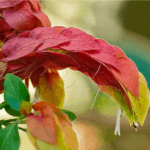 Shrimp Plant: how to grow and care