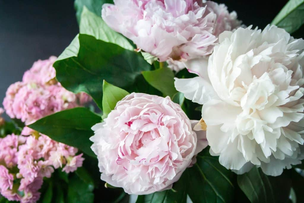 Peonies flowers and how to grow them