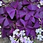 Shamrock plant- How to Plant, Care, and Uses