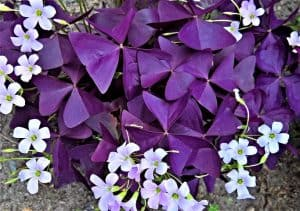 Purple Shamrock Plant with white flowers