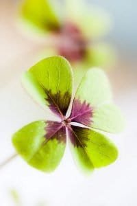 Four-lobed Lucky Shamrock Plant