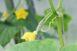Cucumber plant with flowers
