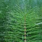 Horsetail Plant- How to grow and care