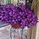 Oxalis triangularis - How to Grow and Care