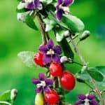 Purple flower of Goji Berry plant