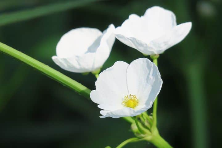 White-flowered Arrowhead plant