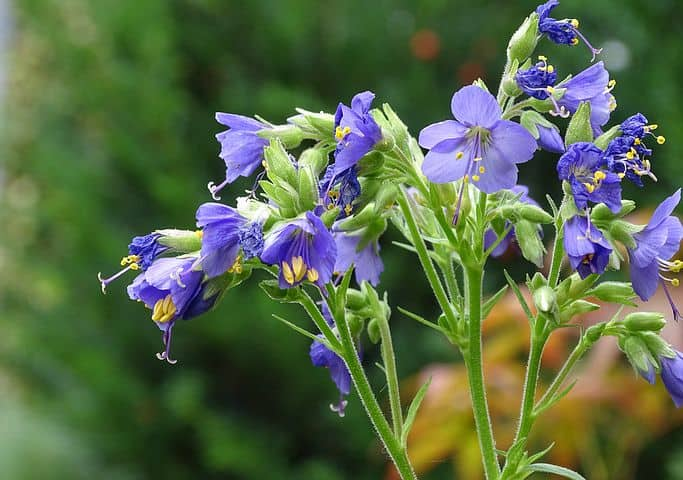 Purple-flowered Jacob's ladder plant