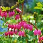 Bleeding Heart Plant- How to grow and care
