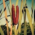 Cattail Plant- How to Grow and Care