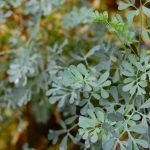 Rue Plant - How to Grow and Care