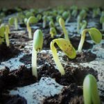 Soybean - How to grow and care