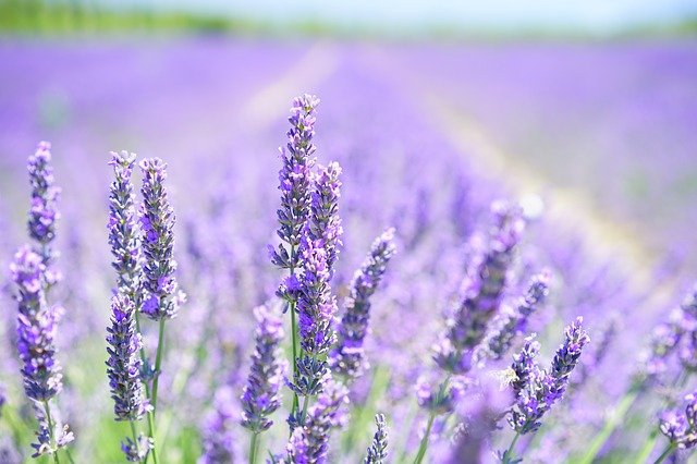 is lavender a flower
