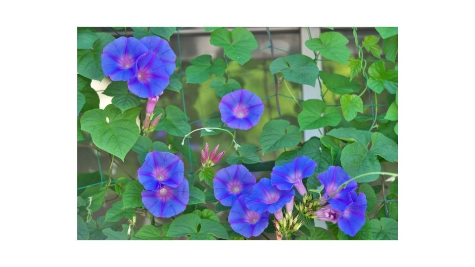 how fast do morning glories grow