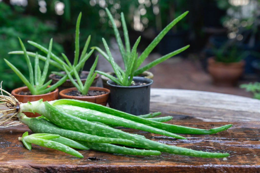 Aloe vera plant with some harvested leaves ready to extract the gel