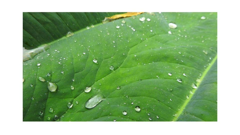 do leaves absorb water