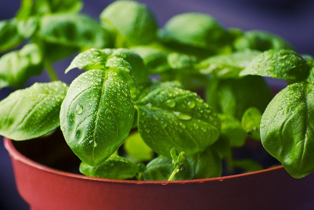 why does basil leaves have white spots